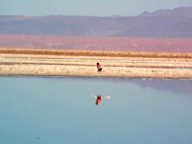Salar d'Atacama (Flamans rose) 6