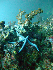 Soft coral and a starfish