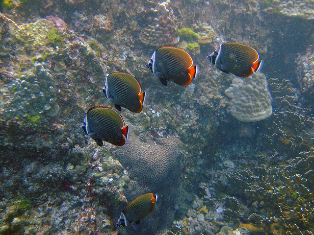 Some butterfly fish go in pose