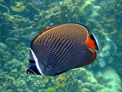 Butterfly fish
