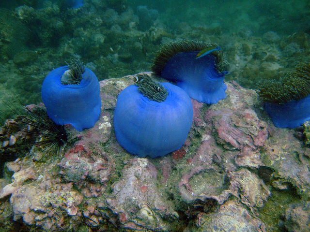 Lime-blue anemones