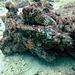 Scorpaenidae a Largescaled scorpionfish