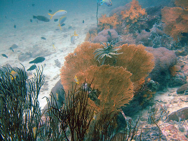 Gorgonian also called sea whip or sea fan