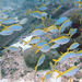 Yellow fin fusilier fish
