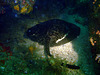 Dasyatis, kind of a sting ray
