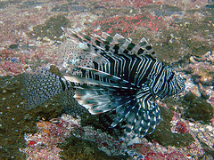 One more Lion fish