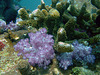 Soft coral in nice colors