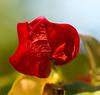 Fleur en devenir