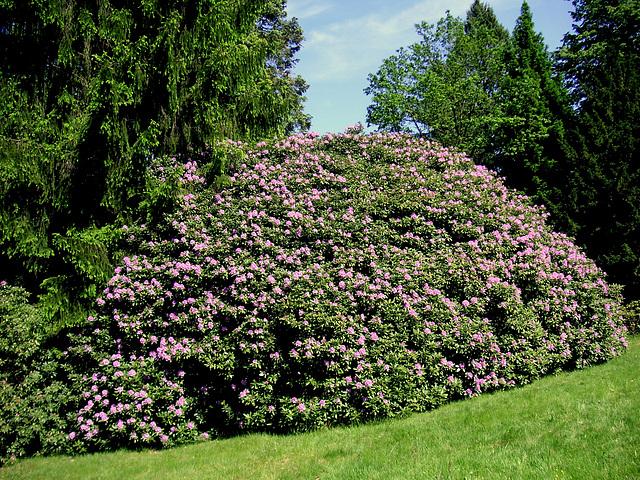 Rhododendron bei Rathen