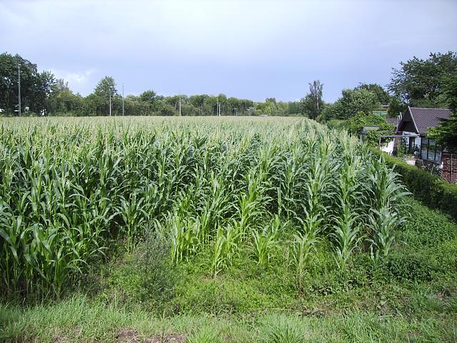 07 cornfield in july