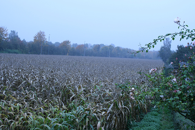 10 field in october (with corn)