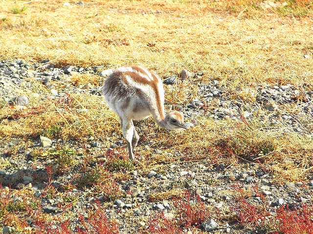 petit Emeu de Patagonie