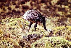 Emeu de Patagonie