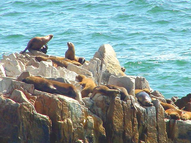 loutres de mer ,sea otters