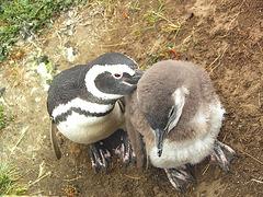 Pingoins ( mère et enfant )