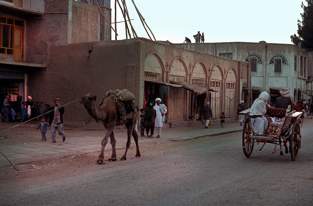 Dromedaries often seen in Herat