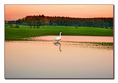 The Swan (pip)