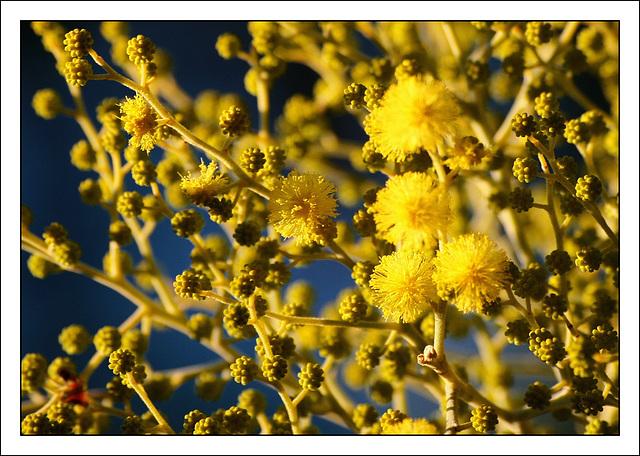 Mimosenblüte