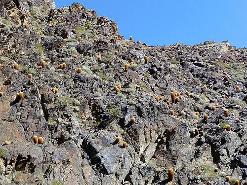 Goler Wash - Barrel Cactus (3190)