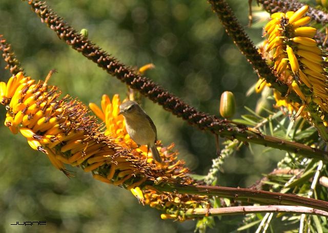 Mosquitero canario