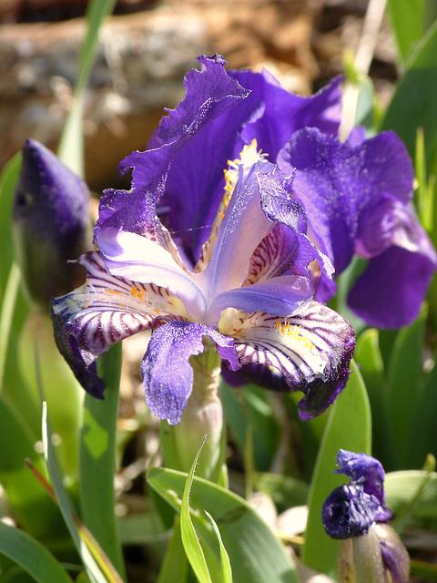 ...iris sauvage...