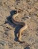 Rattlesnake (3715)