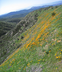 Poppy Hillside (0378)