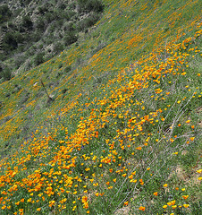 Poppy Hillside (0380)
