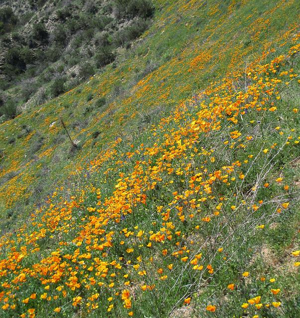 Poppy Hillside (0380)