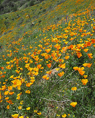 Poppy Hillside (0381)