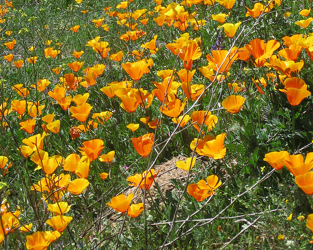 Poppy Hillside (0381A)