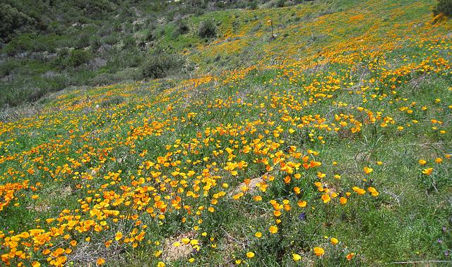 Poppy Hillside (0382)