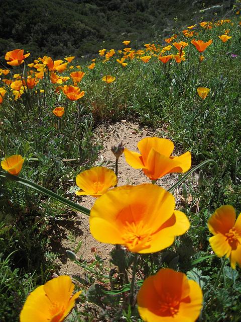 Poppy Hillside (0384)