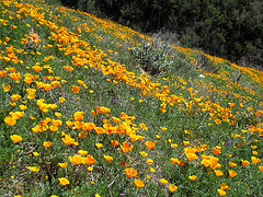 Poppy Hillside (0391)