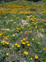 Poppy Hillside (0392)