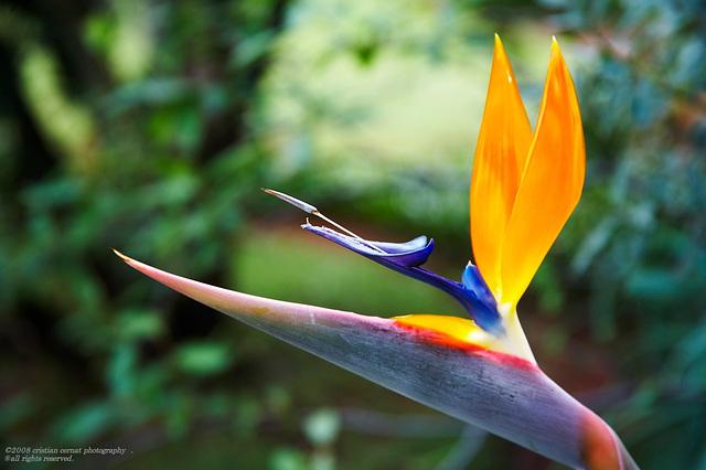 Bird of paradise (strelitzia reginae ) 022