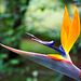 Bird of paradise (strelitzia reginae ) 022