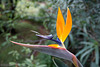 Bird of paradise (strelitzia reginae ) 023