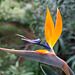 Bird of paradise (strelitzia reginae ) 023