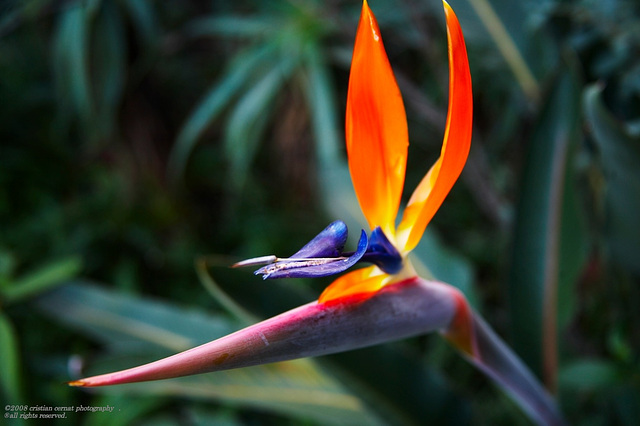 Bird of paradise (strelitzia reginae ) 024