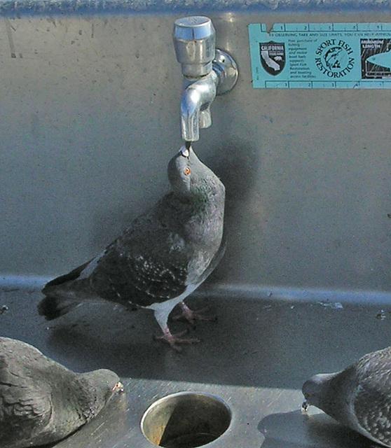 Pigeons On San Clemente Pier (7054)