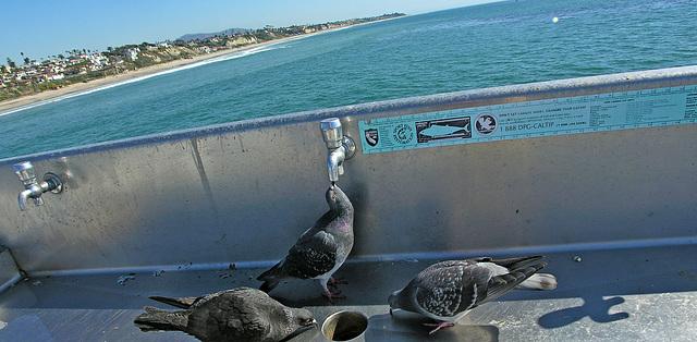 Pigeons On San Clemente Pier (7055)