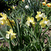 Narcisse Hybride ' Galactic Star'