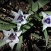 Tulipa humilis alba coerulea oculata