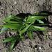 Iris bucharica - Préparation de hampes