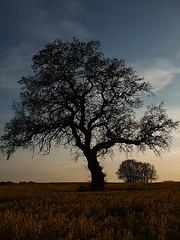 Baum mitten im Feld, Kreis Stormarn / DSCF-0509-118