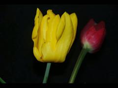 vie des tulipes ...2