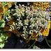 Sedum dasyphyllum préparant sa floraison