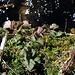 Benoite des ruisseaux - Geum rivale