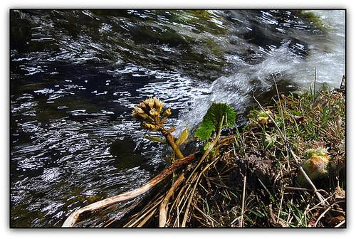 Pétasite , les pieds dans l'eau
